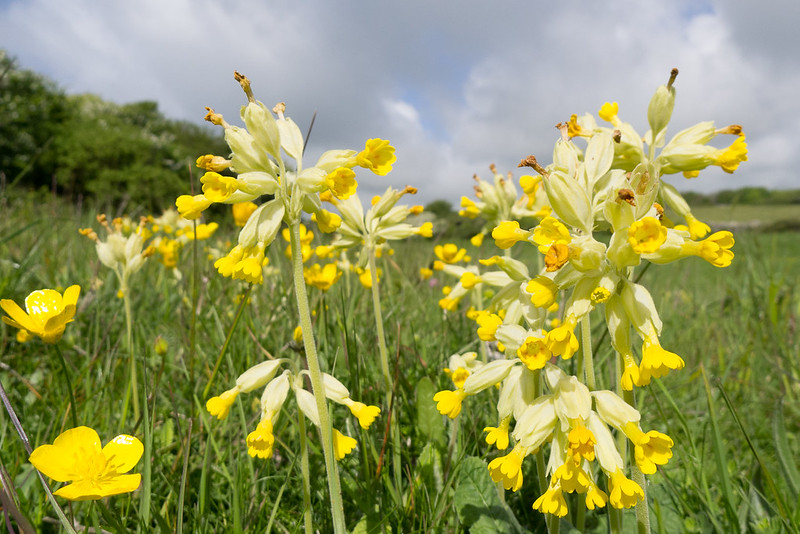 Yellow Rattle helping to keep the more vigorous grasses in check.
