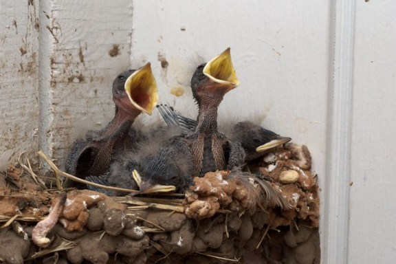 Baby Swallows