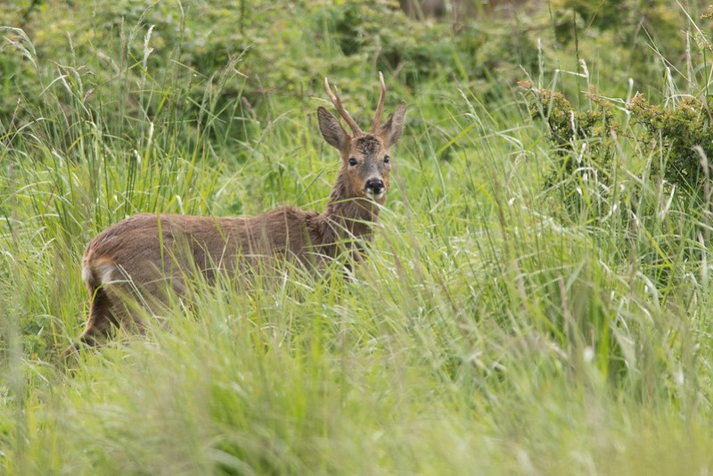 Roebuck grazing along the Purbeck ridge close to Bucknowle