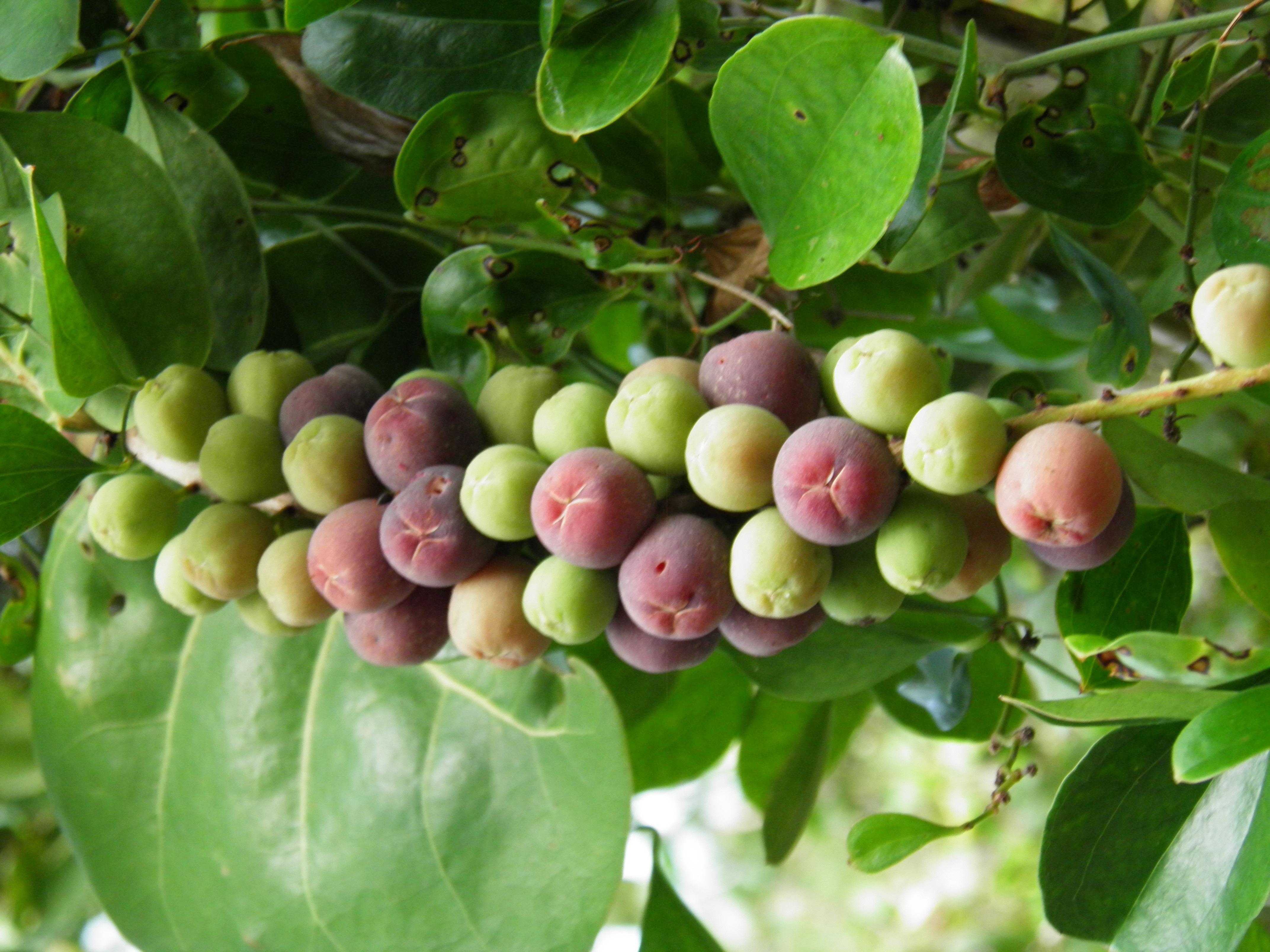 Prissy October South Lido Coccoloba Uvifera Florida Foraging Sea Grape Tree Fruit Edible Sea Grape Tree Wikipedia houzz 01 Sea Grape Tree