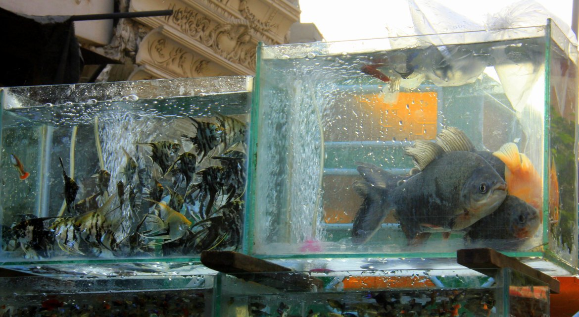 You can buy piranhas at Friday Market