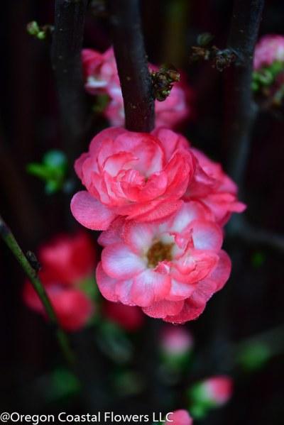 双贴梗海棠开花