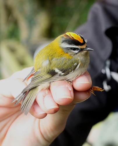 "Firecrest, Nanjizal, 210916 (P.Freestone) • <a style=""font-size:0.8em;"" href=""http://www.flickr.com/photos/30837261@N07/29832949860/"" target=""_blank"">View on Flickr</a>"