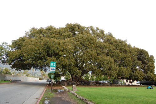 Moreton Bay Fig Tree - Ficus macrophylla