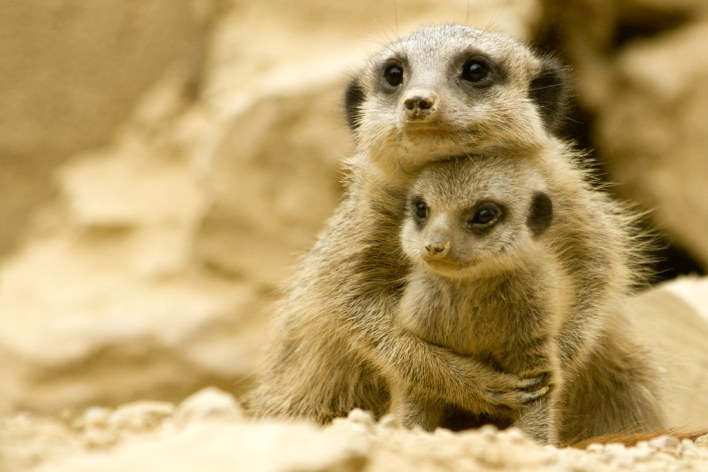 Meerkat Babies by Jon Pinder, on Flickr