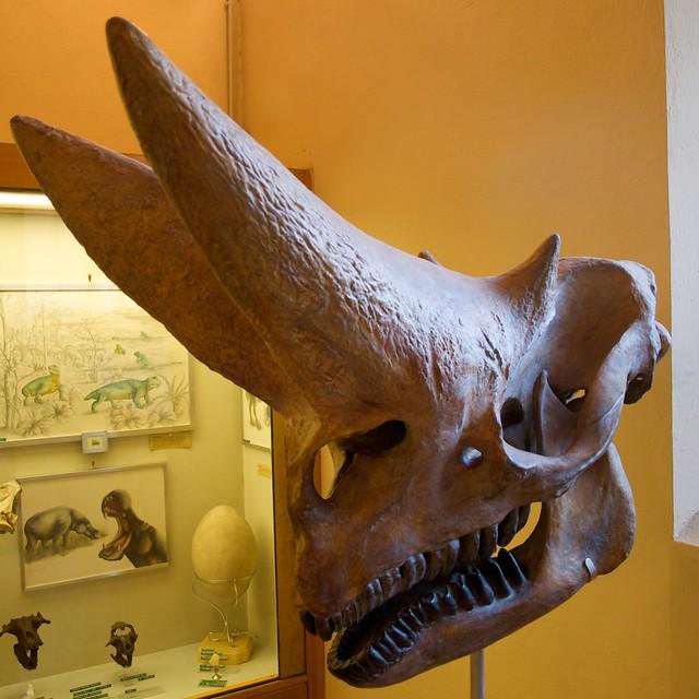 Arsinoitherium Zitteli skull