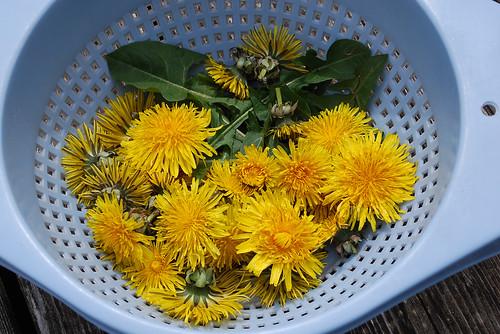 Fresh Picked Dandelions