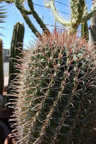 Ferocactus tiuronensis