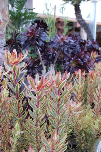 Leucadendron 'Jester' and Aeonium arboreum 'Zwartkop'