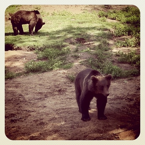 Bruine beren...