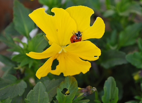 Ladybug on Viola