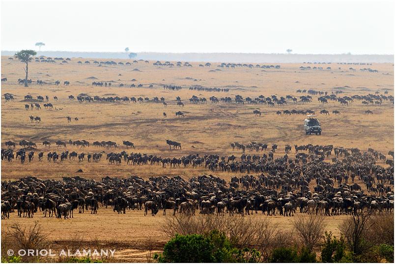 Migració de Nyus a Masai Mara National Reserve, Kenia