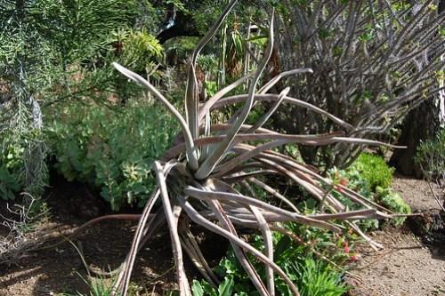 Aloe suzannae