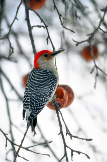 Woodpecker & Apples