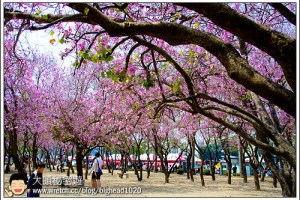 [台南]北區 台南公園南洋櫻花(羊蹄甲)