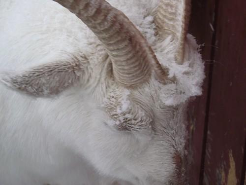 Splendid Goat