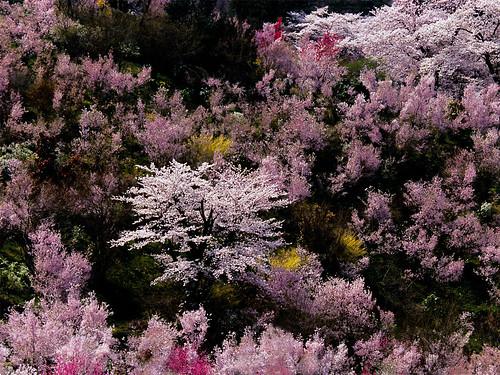 春の花木に囲まれた桜(1024x768)