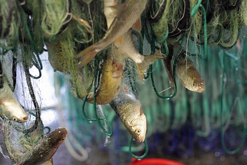 net-caught fish