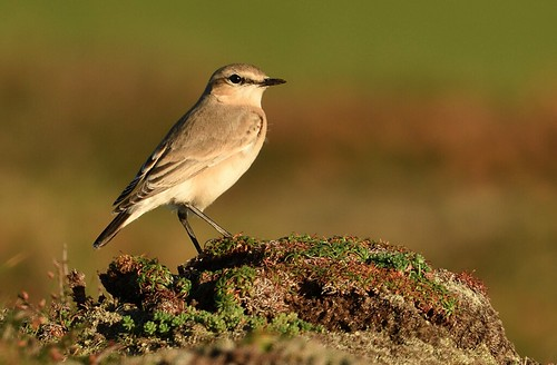 "Isabelline Wheatear, Godrevy, 21.10.16 (S.Rogers) • <a style=""font-size:0.8em;"" href=""http://www.flickr.com/photos/30837261@N07/30243370464/"" target=""_blank"">View on Flickr</a>"