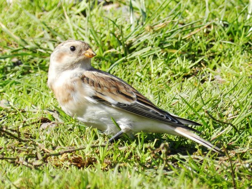 "Snow Bunting, Pendeen, 71013 (J.St Ledger) • <a style=""font-size:0.8em;"" href=""http://www.flickr.com/photos/30837261@N07/10156511833/"" target=""_blank"">View on Flickr</a>"