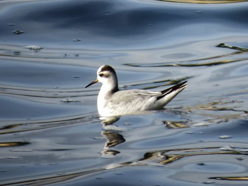 "Grey Phalarope, Falmouth, 29.12.13 (J.St Ledger) • <a style=""font-size:0.8em;"" href=""http://www.flickr.com/photos/30837261@N07/11644598353/"" target=""_blank"">View on Flickr</a>"
