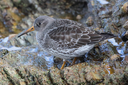 "Purple Sandpiper, Falmouth 091113 (J.Irvine) • <a style=""font-size:0.8em;"" href=""http://www.flickr.com/photos/30837261@N07/10900798716/"" target=""_blank"">View on Flickr</a>"