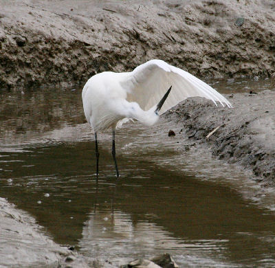 """Little Egret • <a style=""""font-size:0.8em;"""" href=""""http://www.flickr.com/photos/30837261@N07/10723182573/"""" target=""""_blank"""">View on Flickr</a>"""