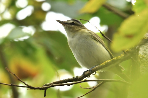 """Red-eyed Vireo, Porthgwarra, 16.10.16 (S.Rogers) • <a style=""""font-size:0.8em;"""" href=""""http://www.flickr.com/photos/30837261@N07/29736964853/"""" target=""""_blank"""">View on Flickr</a>"""