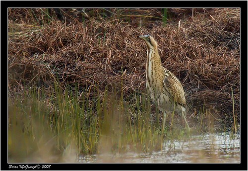 """Bittern (B.McGeough) • <a style=""""font-size:0.8em;"""" href=""""http://www.flickr.com/photos/30837261@N07/10723171373/"""" target=""""_blank"""">View on Flickr</a>"""