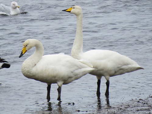 "Whooper Swans, Hayle, 261013, (J.St Ledger) • <a style=""font-size:0.8em;"" href=""http://www.flickr.com/photos/30837261@N07/10515450326/"" target=""_blank"">View on Flickr</a>"