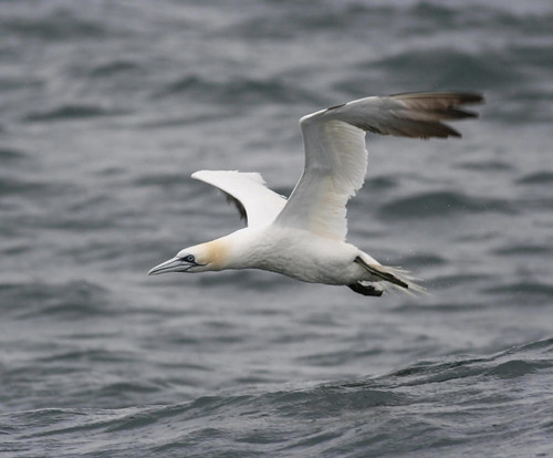"""Gannet • <a style=""""font-size:0.8em;"""" href=""""http://www.flickr.com/photos/30837261@N07/10722893505/"""" target=""""_blank"""">View on Flickr</a>"""