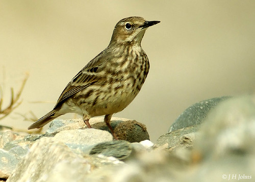 "Rock Pipit (J H Johns) • <a style=""font-size:0.8em;"" href=""http://www.flickr.com/photos/30837261@N07/10722965665/"" target=""_blank"">View on Flickr</a>"