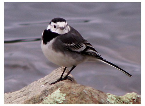 """Pied Wagtail • <a style=""""font-size:0.8em;"""" href=""""http://www.flickr.com/photos/30837261@N07/10723335186/"""" target=""""_blank"""">View on Flickr</a>"""