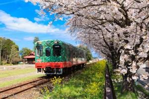 [關東追晚櫻2-4]栃木縣真岡:鐵道、櫻花與油菜花共舞