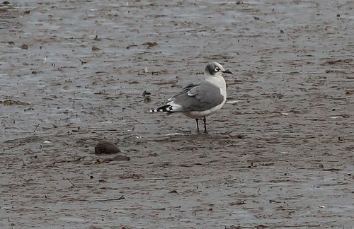 """Franklins Gull, Hayle Estuary, 27.10.16 (M.Curtis) • <a style=""""font-size:0.8em;"""" href=""""http://www.flickr.com/photos/30837261@N07/29969959674/"""" target=""""_blank"""">View on Flickr</a>"""