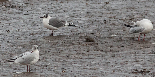 """Franklins Gull, Hayle Estuary, 27.10.16 (M.Curtis) • <a style=""""font-size:0.8em;"""" href=""""http://www.flickr.com/photos/30837261@N07/30513651991/"""" target=""""_blank"""">View on Flickr</a>"""