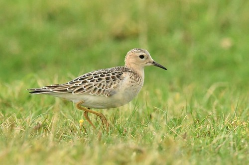 """Buff-breasted Sandpiper, Davidstow Airfield, 15.09.16 (S.Rogers) • <a style=""""font-size:0.8em;"""" href=""""http://www.flickr.com/photos/30837261@N07/30044209531/"""" target=""""_blank"""">View on Flickr</a>"""