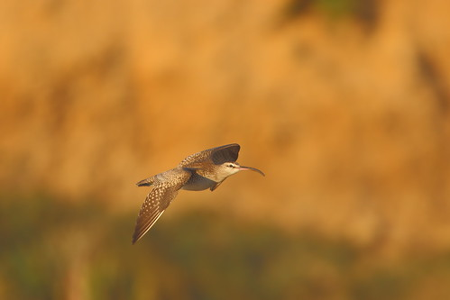 """Hudsonian Whimbrel, Marazion, 03.11.15 (M.Halliday) • <a style=""""font-size:0.8em;"""" href=""""http://www.flickr.com/photos/30837261@N07/22857857552/"""" target=""""_blank"""">View on Flickr</a>"""