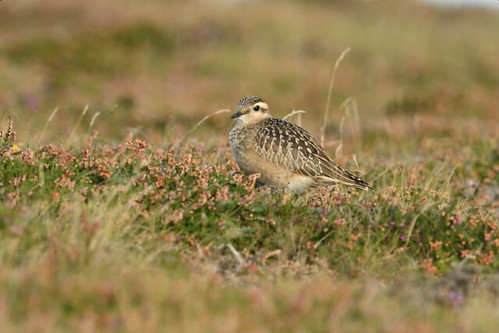 """Dotterel Porthgwarra, 11.09.16 (S.Rogers) • <a style=""""font-size:0.8em;"""" href=""""http://www.flickr.com/photos/30837261@N07/30013896942/"""" target=""""_blank"""">View on Flickr</a>"""