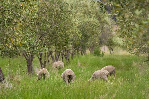 Tassie sheep