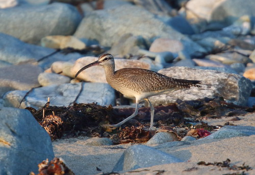 """Hudsonian Whimbrel, Marazion, 03.11.15 (M.Halliday) • <a style=""""font-size:0.8em;"""" href=""""http://www.flickr.com/photos/30837261@N07/22250149533/"""" target=""""_blank"""">View on Flickr</a>"""