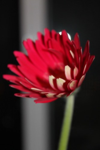 Gerbera, mid-close