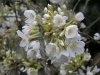白色樱桃树枝