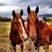 A couple of sociable horses outside Kelowna
