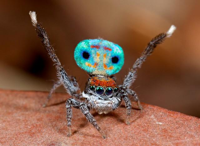 _MG_3961 peacock spider Maratus amabilis