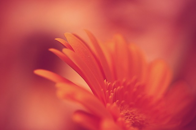 my beautiful orange gerbera  e3 [explored... I think...]