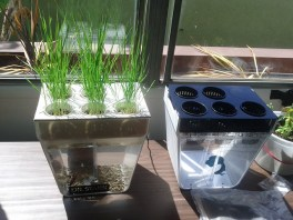 Wheat grass about to get a haircut after two weeks.