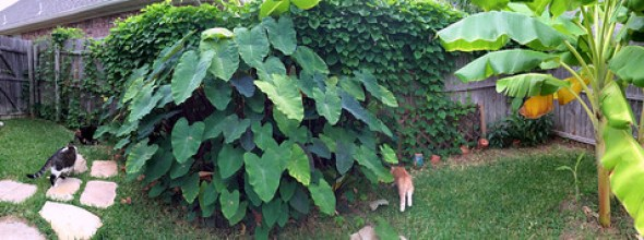 Black Taro Plant Back Yard Home Garden IMG_0160 by Dallas Photoworks