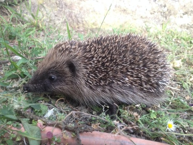 a young hedgehog in our garden