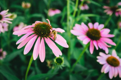 Fuji X100: Bee on Echinacea